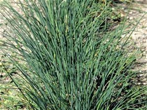 ciboulette semer et planter ooreka