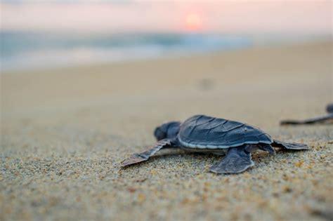 heat ls for baby turtles baby sea turtle release escondido mexico