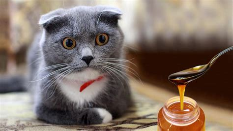 honey for cats cough