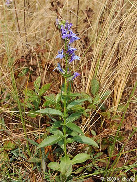 lobelia siphilitica blue lobelia minnesota wildflowers