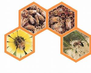 How Bees Make Honey — Australian Honey Bee Industry Council