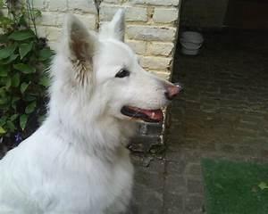 Beautiful White Dogs Wallpaper
