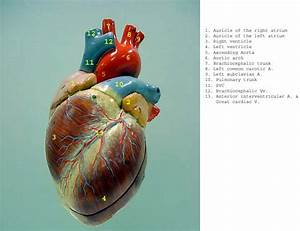 33 Label This Anterior View Of The Human Heart