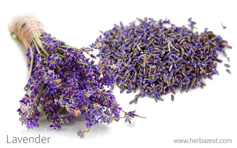 lavender soil ph lavender herbazest