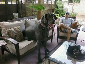 World's Biggest Dog: George, 230-Pound Great Dane and ...