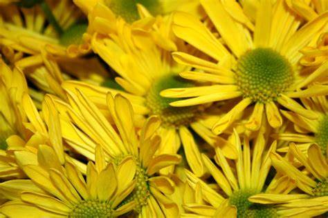 Yellow Daisies Close Up Texture Picture | Free Photograph ...
