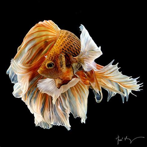 tren gaya  gambar wallpaper ikan cupang full hd