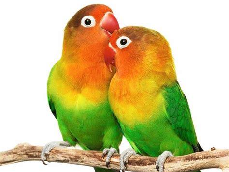 gabbie per pappagalli inseparabili pappagalli inseparabili perch 232 si chiamano cos 236 lettera43 it