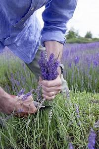 Wann Wird Lavendel Geschnitten : lavendel ist nicht lavendel jetzt auf immobilien und hausbau ~ Lizthompson.info Haus und Dekorationen