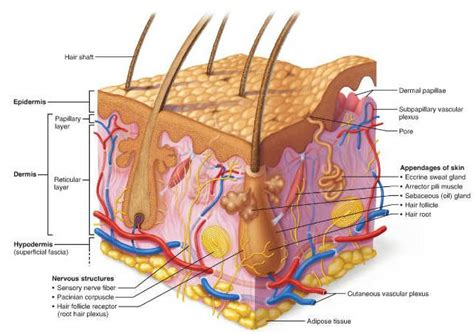 What Is The Dermis?