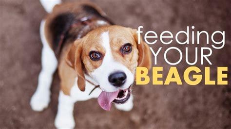 dog food  beagles dont skimp   protein