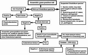 Flowchart For Identification Of Anaerobic Gram