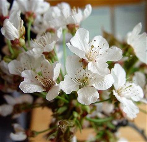 Buy White Cherry Blossom Branches for Sale