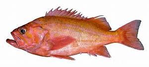 Canary Rockfish Fish Identification
