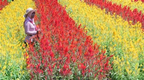 menikmati indahnya hamparan bunga celosia warna warni