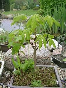 Pflege Von Bonsai Bäumchen : eine kastanie als bonsai pflanzen botanik green24 hilfe pflege bilder ~ Sanjose-hotels-ca.com Haus und Dekorationen