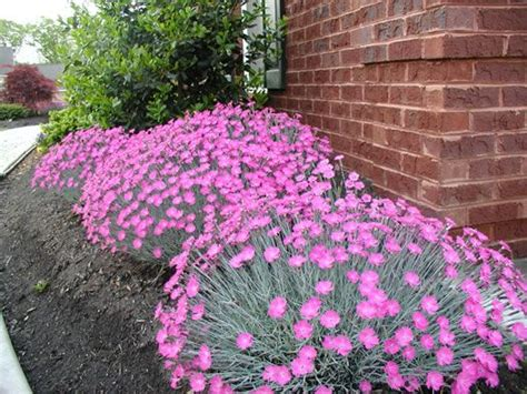best border plants dianthus firewitch blue gray grass like foliage highly