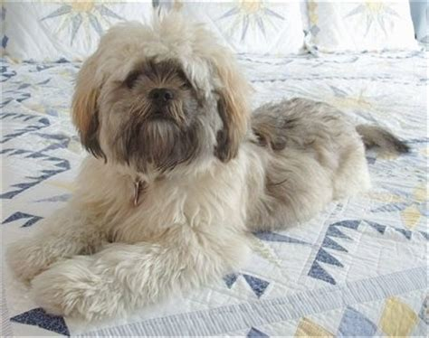 Lhasa Apso Shih Tzu Mix Shedding by Shih Apso Breed Information And Pictures