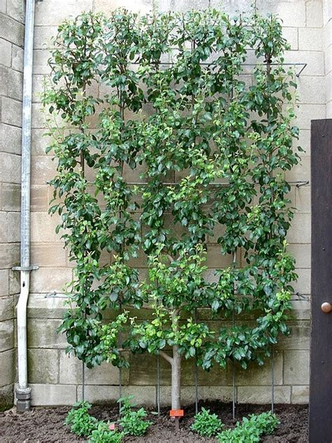 espalier designs 158 best images about espalier on pinterest gardens trees and hedges