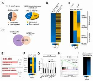 Regulation Of Foxm1 Target Genes By Setd1a In Metastatic