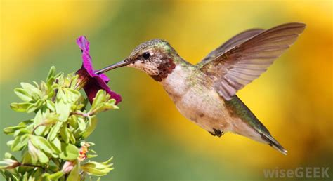 what are hummingbirds with pictures