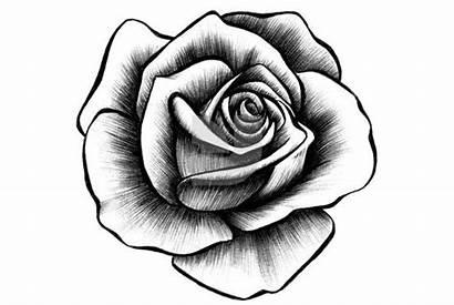 Rose Drawings Roses Drawing Drawn Cliparting