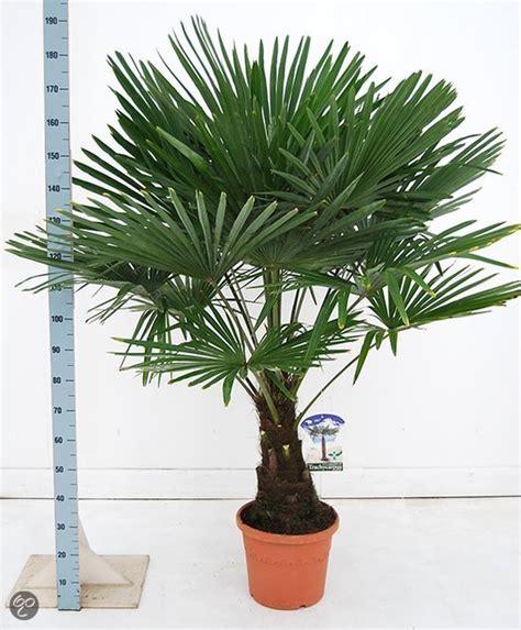 bol palmbomen tuin en balkonplant trachycarpus fortunei doorsnede pot 35cm hoogte 150