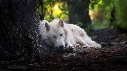 Wolf Animal Wallpapers 4k Animals Wildlife Background