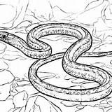 Snake Coloring Garter sketch template