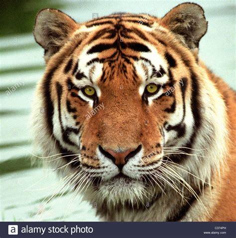 Korean Tiger Stock Photos Images Alamy