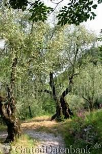 Olivenbaum Im Wohnzimmer überwintern : olivenbaum schneiden pflege berwintern lbaum olea europaea schneiden pflege pflanzen bilder ~ Markanthonyermac.com Haus und Dekorationen