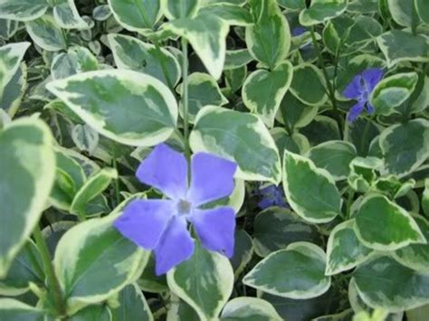 growing vinca from seed 21 best hanging baskets images on pinterest container plants container garden and fall