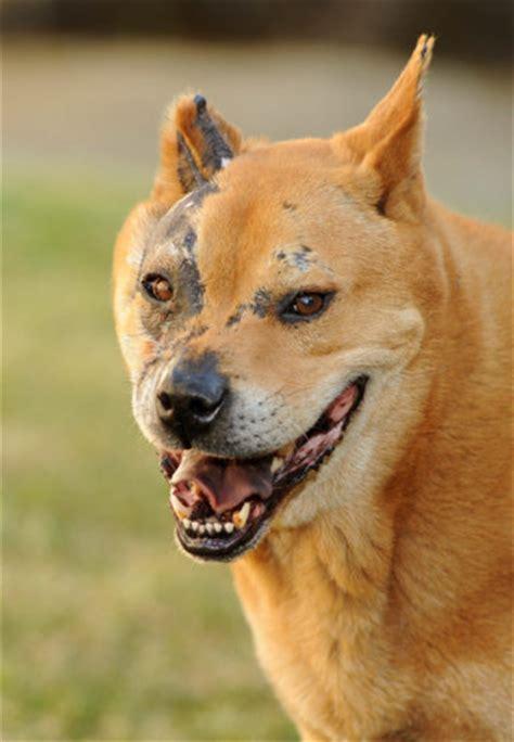 Meet Hachi Adopted A Petfinder Adoptable Akita Dog El Segundo Ca