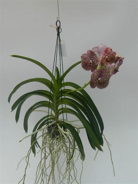mudas de orquidea vanda  cores variadas   em mercado livre