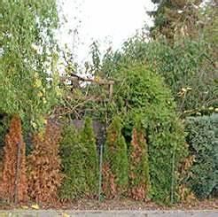 Wann Pflanzt Man Kirschlorbeer : hecke kahl oder abgestorben was kann man tun ~ Lizthompson.info Haus und Dekorationen