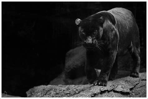 Black Jaguar Animal Hd Wallpapers - black jaguar wallpapers wallpaper cave