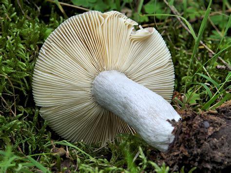 Russula exalbicans - Pilze Allgemein - Pilzforum.eu