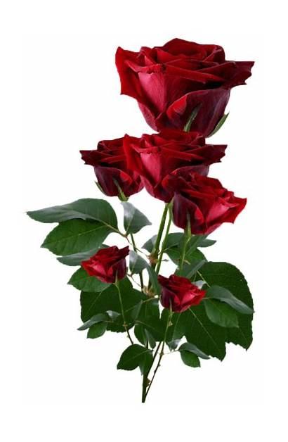 Roses Rose Flower Clipart Yopriceville Heart Rubi