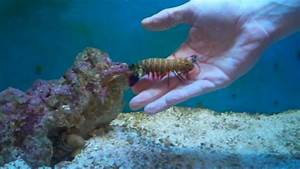 Playing With Another Peacock Mantis Shrimp