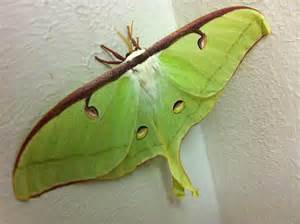 Female Luna Moth