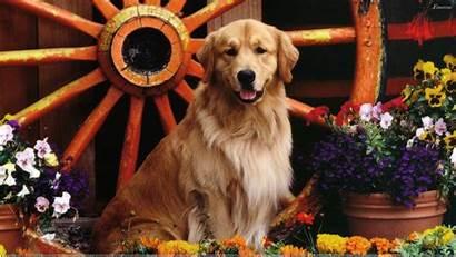 Labrador Golden Retriever Mix Desktop