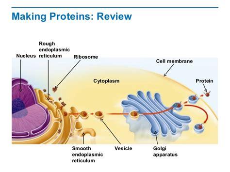 relationship between endoplasmic reticulum and golgi apparatus
