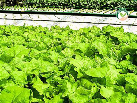 การปลูกพืชไร้ดิน ใช้พื้นที่น้อย ผลผลิตเร็ว ได้ผักรสชาติและ ...