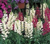 Snapdragon Flower Seeds