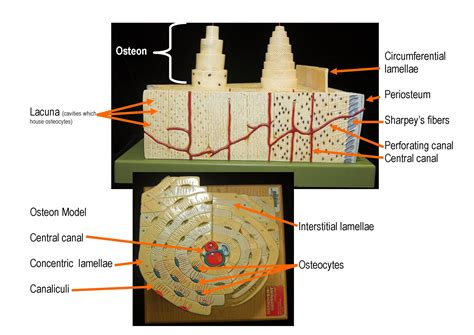 The long bones are those that are longer than they are wide. Bone Model Labeled - Bing Images   Biology   Pinterest