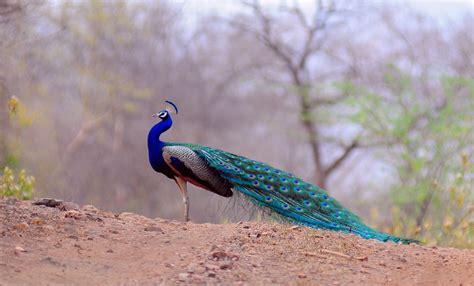 Peacock Flying Bird Wallpaper Hd