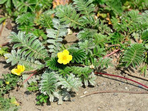 Potentilla anserina   Plants