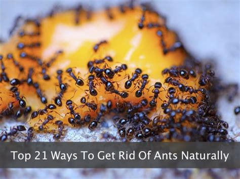 best way to get rid of ants the very best homemade ant killer homestead survival