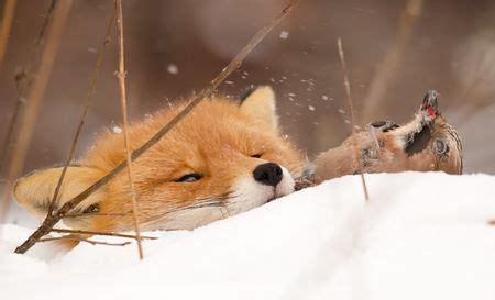 red fox  jay prey photo  kaj winther national
