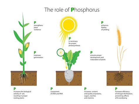 what does phosphorus do for plants aeep phosphorus key to plant life